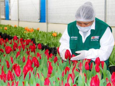 tulipanes_ancash